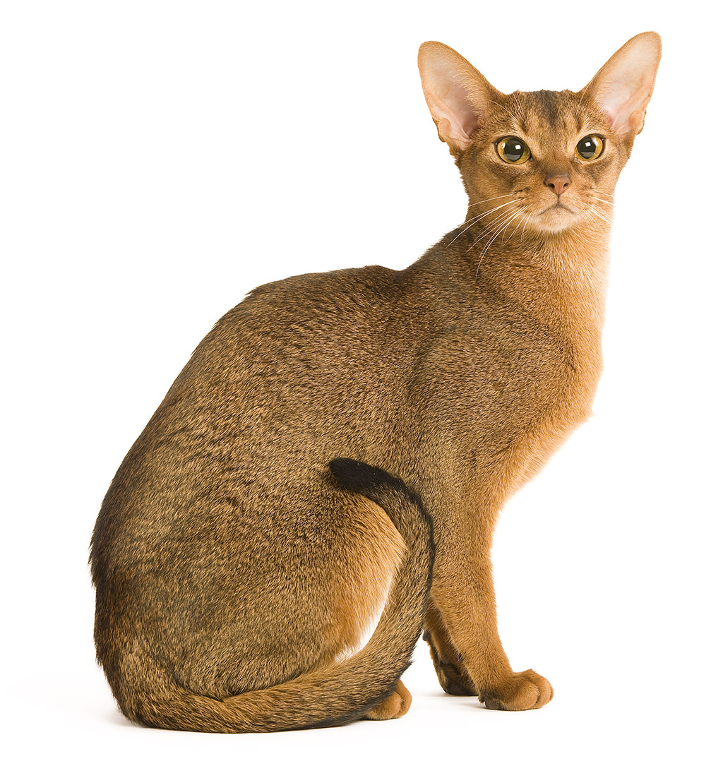 Abyssinian Cat: Abyssinian Abyssinian Breed