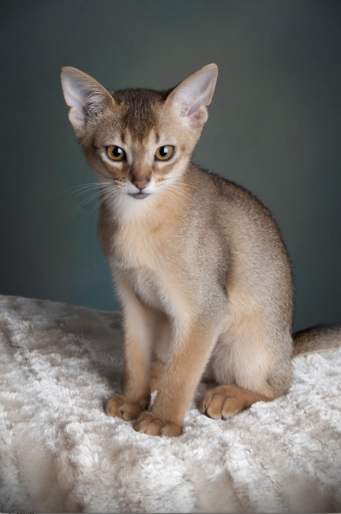 Abyssinian Cat: Abyssinian Abyssinian Cat Breed Information