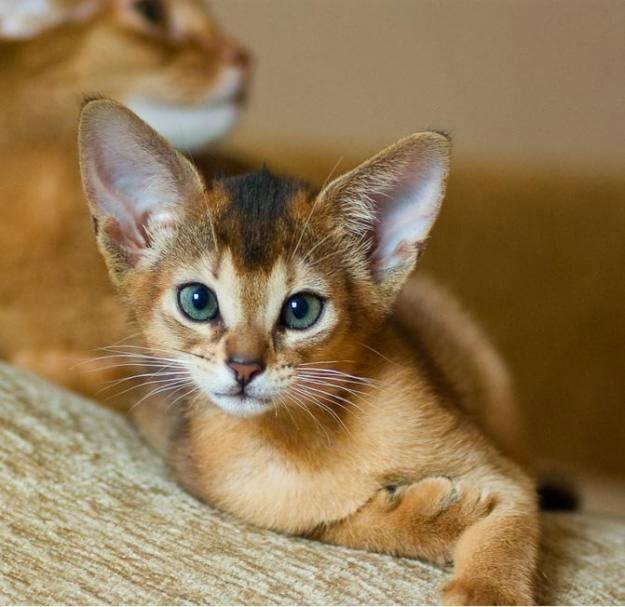 Abyssinian Cat: Abyssinian Abyssinian Cats Breed