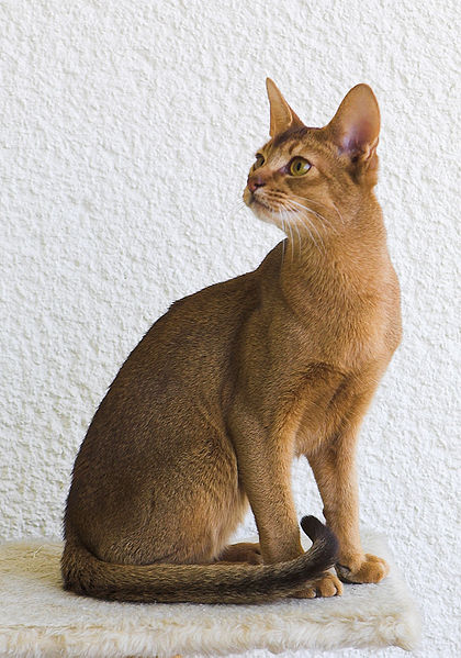 Abyssinian Cat: Abyssinian Breed