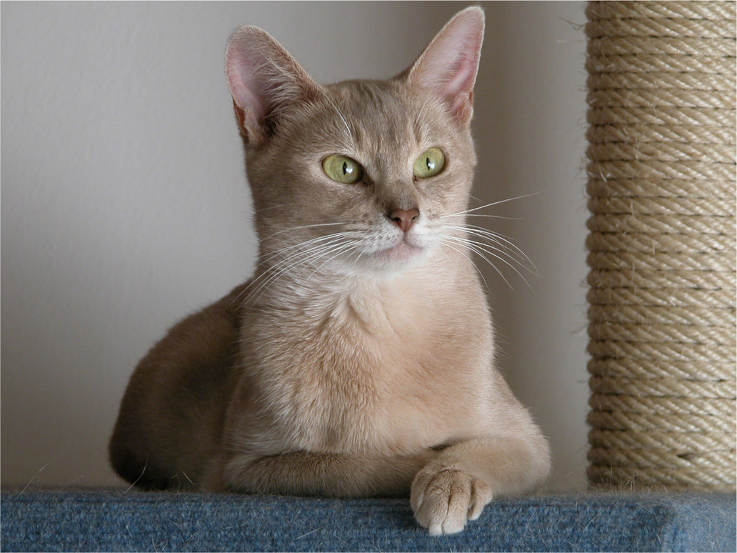 Abyssinian Cat: Abyssinian Lilac Abyssinian Cat Breed