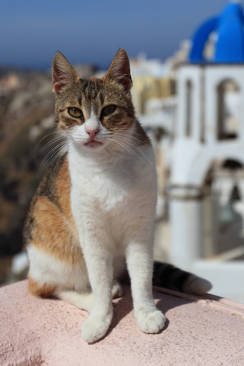 Aegean Cat: Aegean Aegean Cat Breed