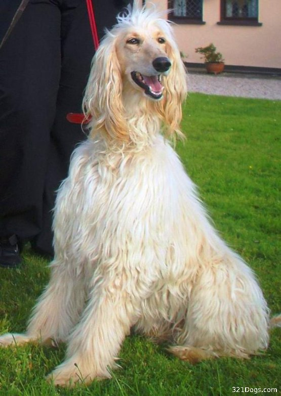 Afghan Hound Dog: Afghan Afghan Hound Dog Breed Pictures All Breeds