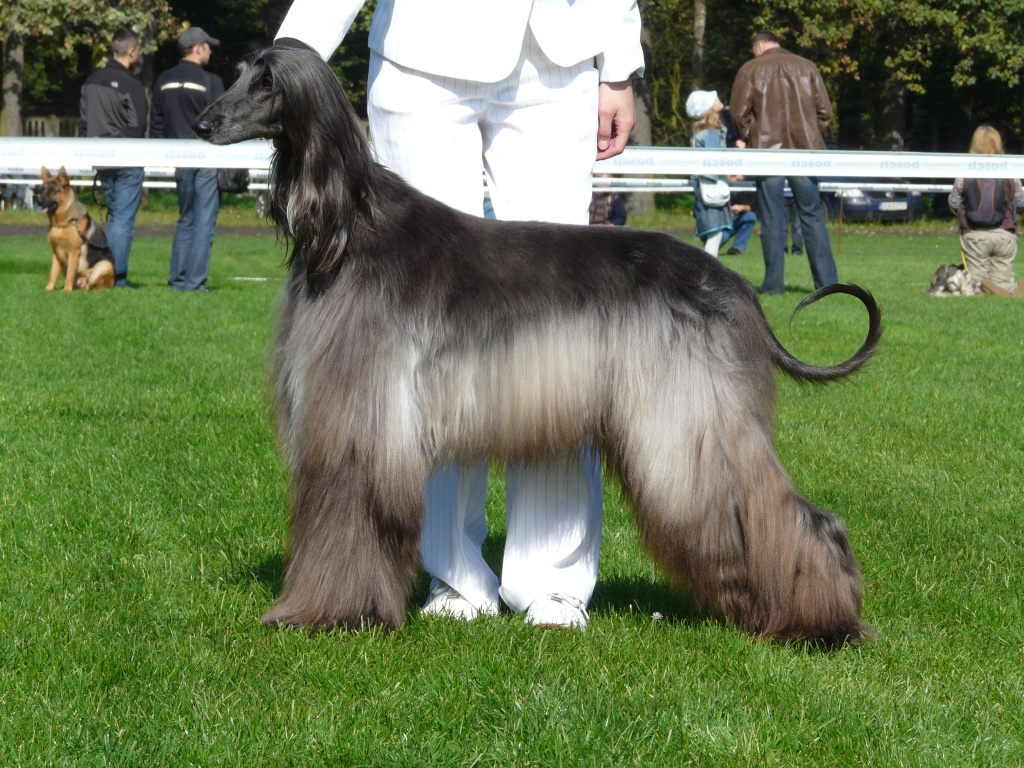 Afghan Hound Dog: Afghan Afghan Hound On Dog Show Breed