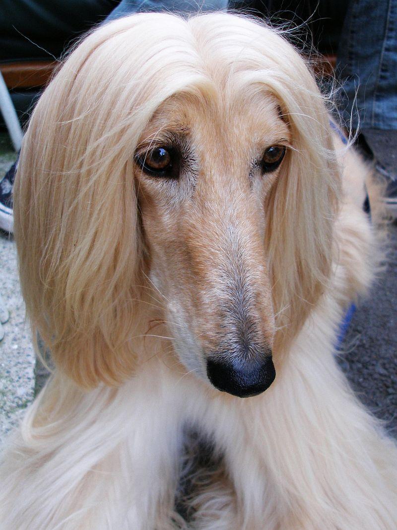 Afghan Hound Dog: Afghan El Perro Mas Tonto Del Mundo El Perro Breed