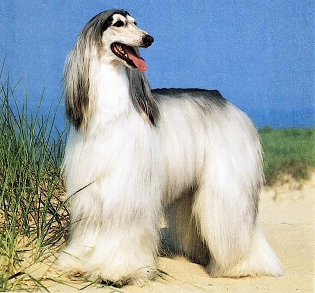 Afghan Hound Dog: Afghan S Dog Afghan Hound Breed