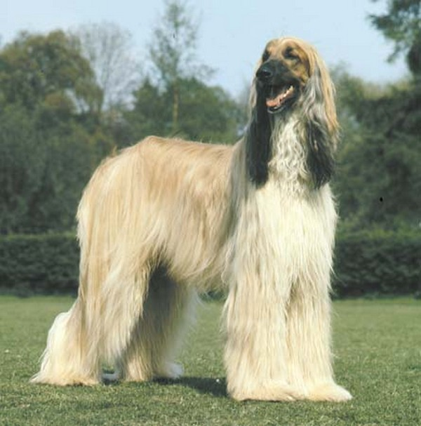 Afghan Hound Dog: Afghan Top Intelligent Dogs Breed