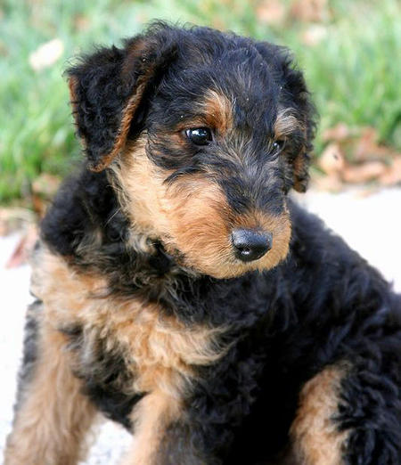 Airedale Terrier Puppies: Airedale Airedale Terrier Puppies Breed