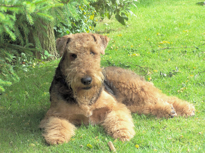 Airedale Terrier Puppies: Airedale Airedale Terrier Puppies Pictures Breed