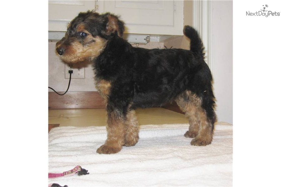 Airedale Terrier Puppies: Airedale Airedaleterrierpuppiesforsale Breed