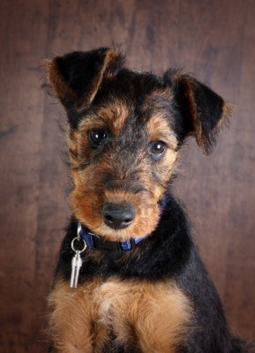 Airedale Terrier Puppies: Airedale Breed