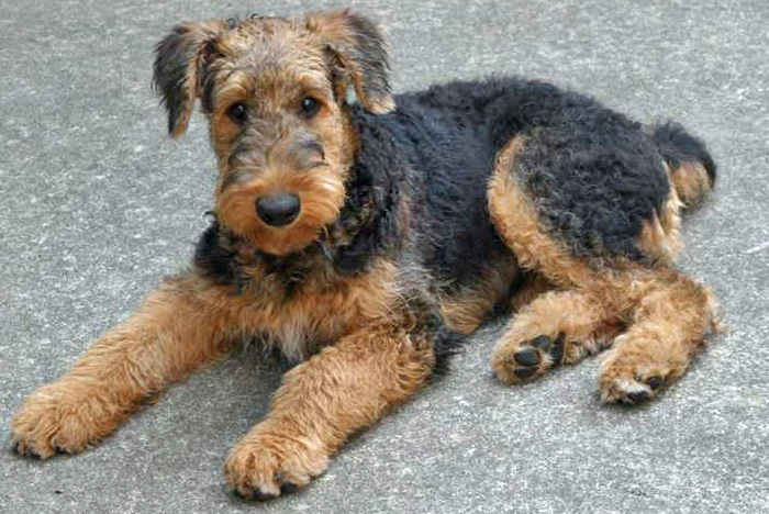 Airedale Terrier Puppies: Airedale Sensitive Responsive Airedale Terrier Puppies Breed