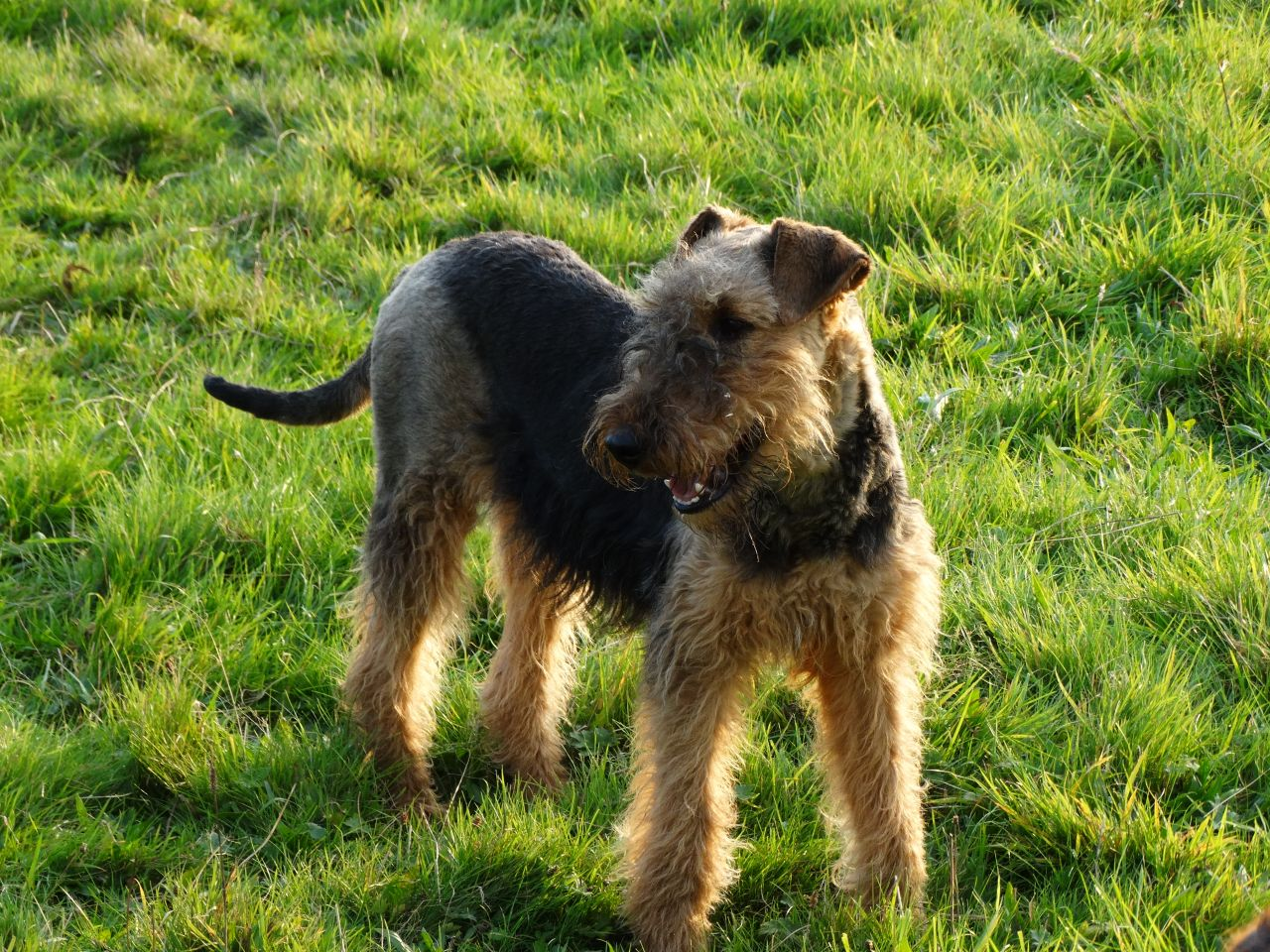 Airedale Terrier Puppies: Airedale Terrier Puppies Blackburn Breed