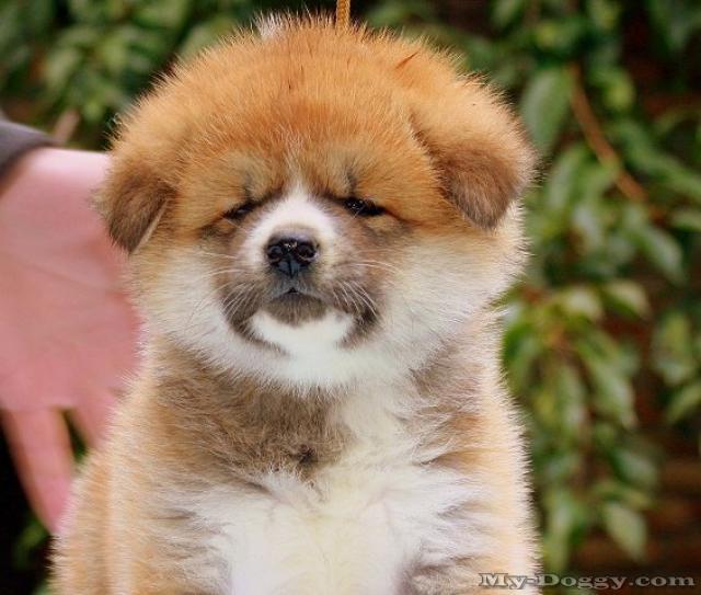 Akita Inu Puppies: Akita Breed