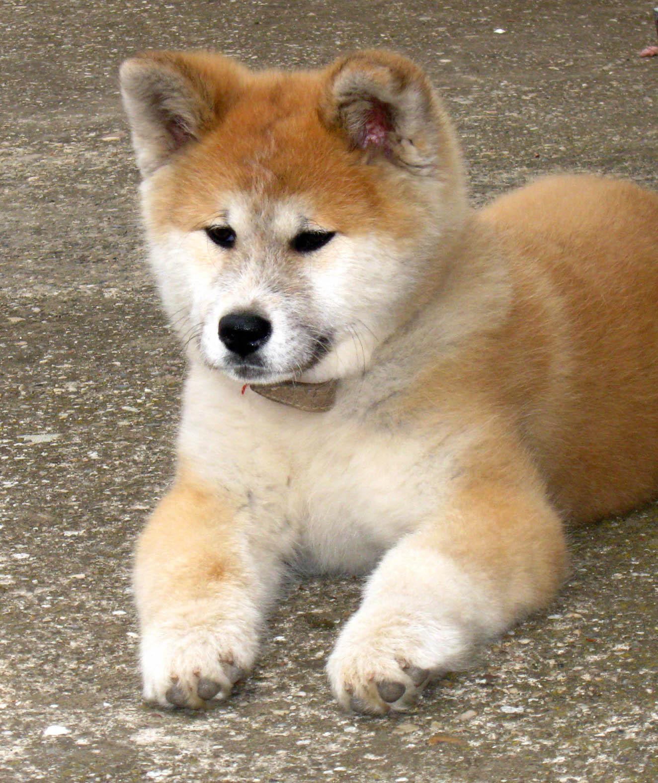 Akita Inu Puppies: Akita Nice Akita Inu At Rest Breed