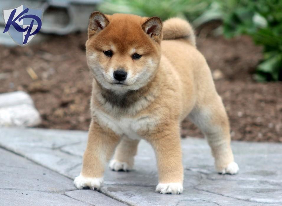 Akita Inu Puppies: Akita Shiba Inu Corgi Mixakita Inu Gunther Shiba Inu Puppies For Sale In Pa Keystone Puppies Picture Breed