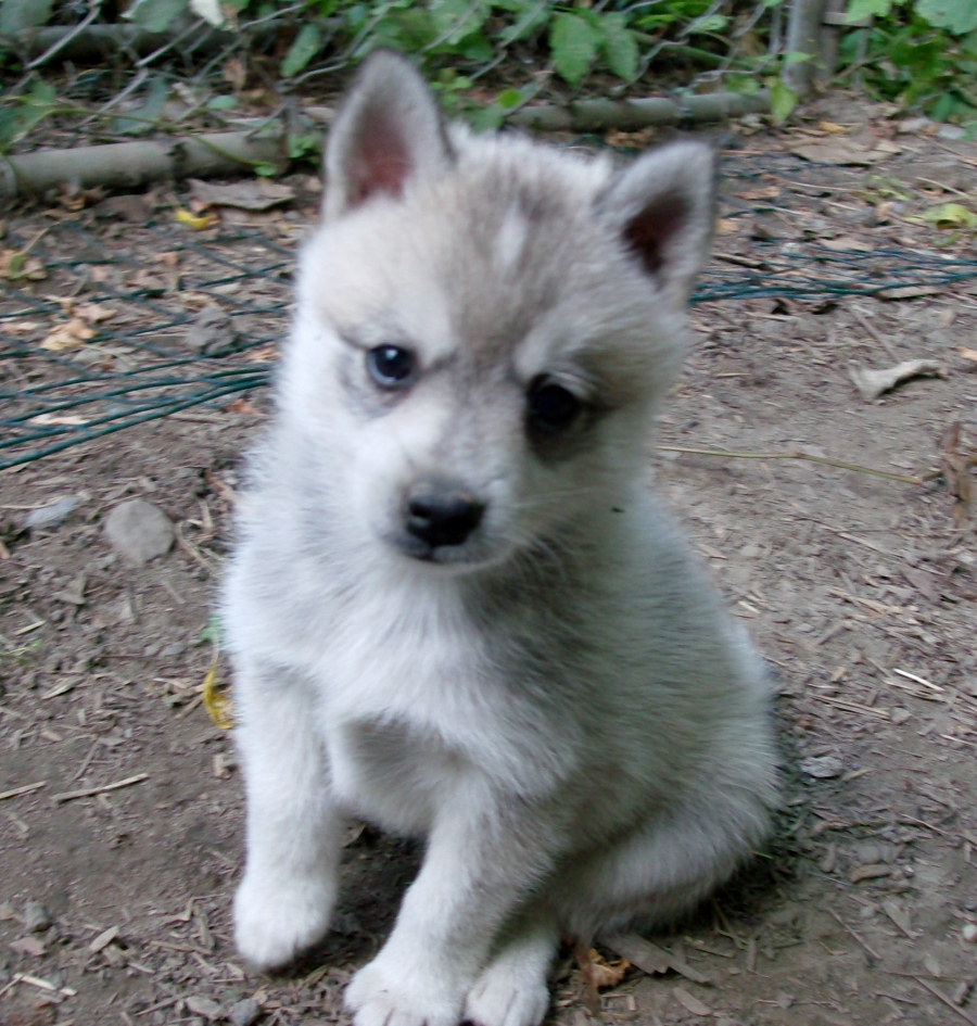 Alaskan Alaskankleekaipuppiesavailable Breed .