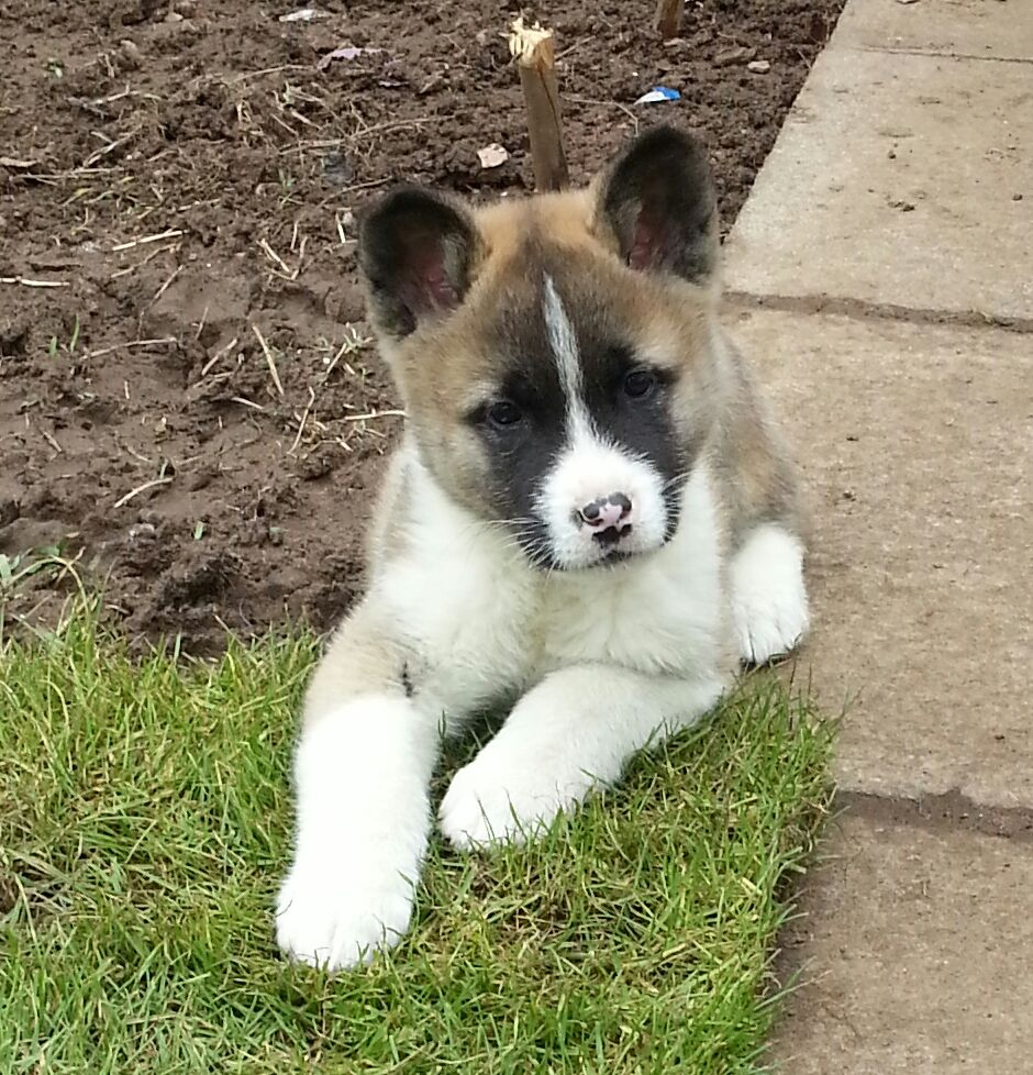 American Akita Puppies: American American Akita Puppies For Sale Glasgow Breed