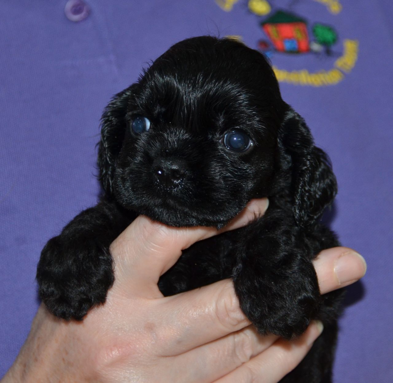 American Cocker Spaniel Puppies: American American Cocker Spaniel Puppies Huddersfield Breed