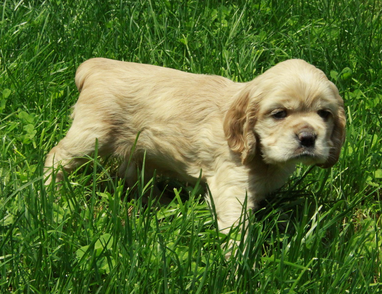 American Cocker Spaniel Puppies: American American Cocker Spaniel Puppy For Sale Picture Breed