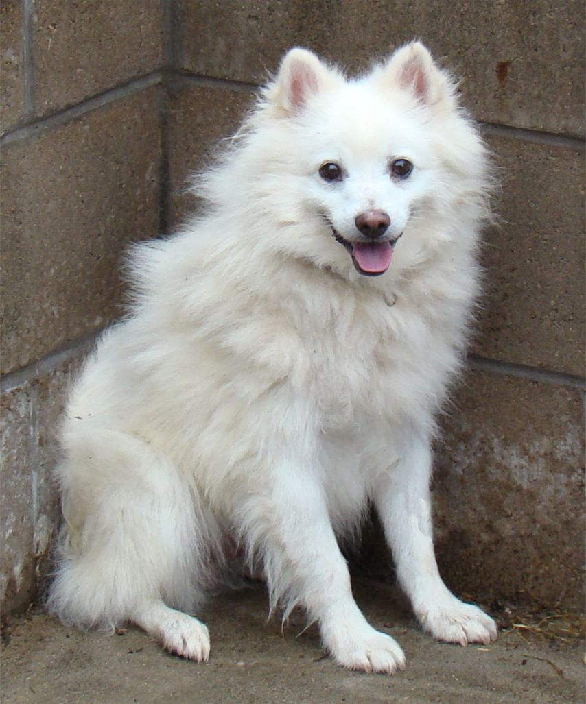 American Eskimo Dog: American American Eskimo Dog Temperament And Breed