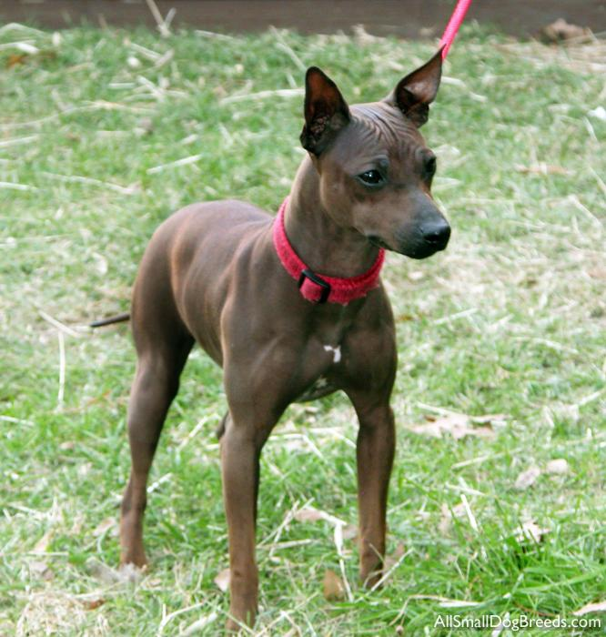 American Hairless Terrier Dog: American American Hairless Terrier Breed