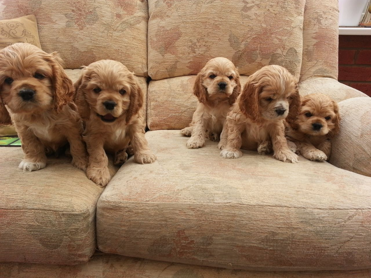 American Cocker Spaniel Puppies: American Beautiful Buff American Cocker Spaniel Puppies Wirral Breed