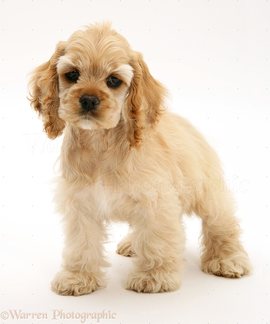 American Cocker Spaniel Puppies: American Buff American Cocker Spaniel Pup Breed