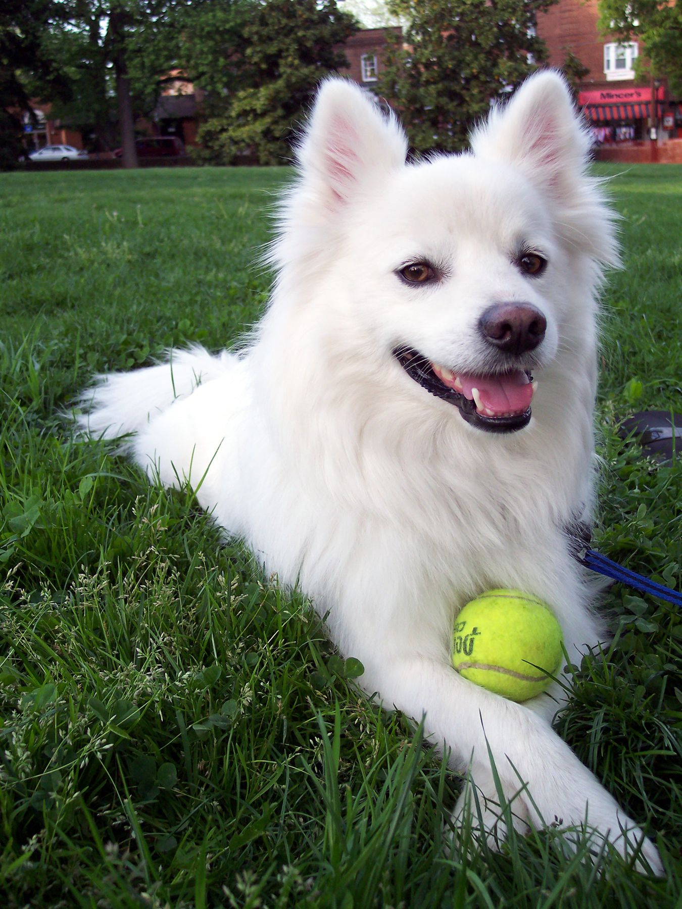 American Eskimo Dog: American F Breed