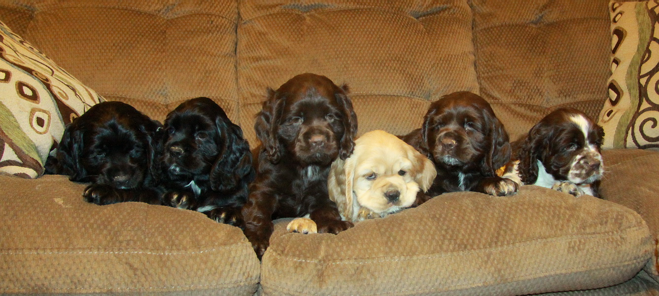 American Cocker Spaniel Puppies: American Georgias Litter Of American Cocker Spaniel Puppy We Had For Sale Breed