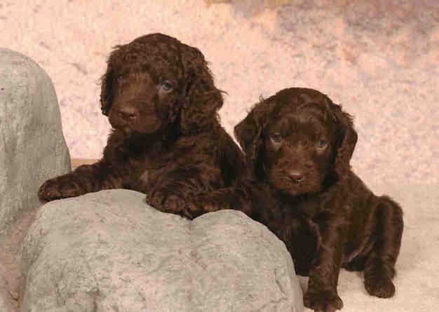 American Water Spaniel Puppies: American Gettinganaws Breed