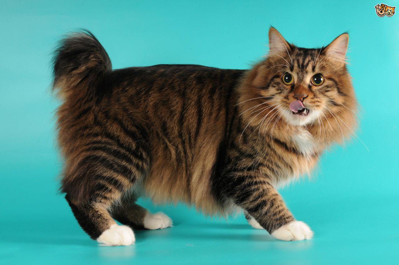 American Bobtail Cat: American Home Breed