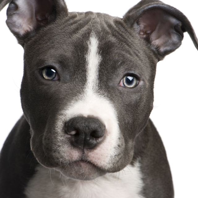 American Pit Bull Terrier Puppies: American Pit Bulls Pop Art Breed