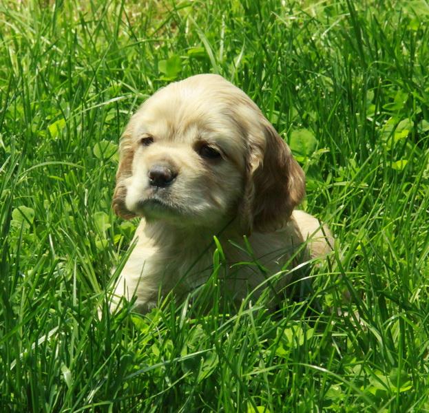 American Cocker Spaniel Puppies: American Trigger Our Caramel American Cocker Spaniel Puppy For Sale Breed