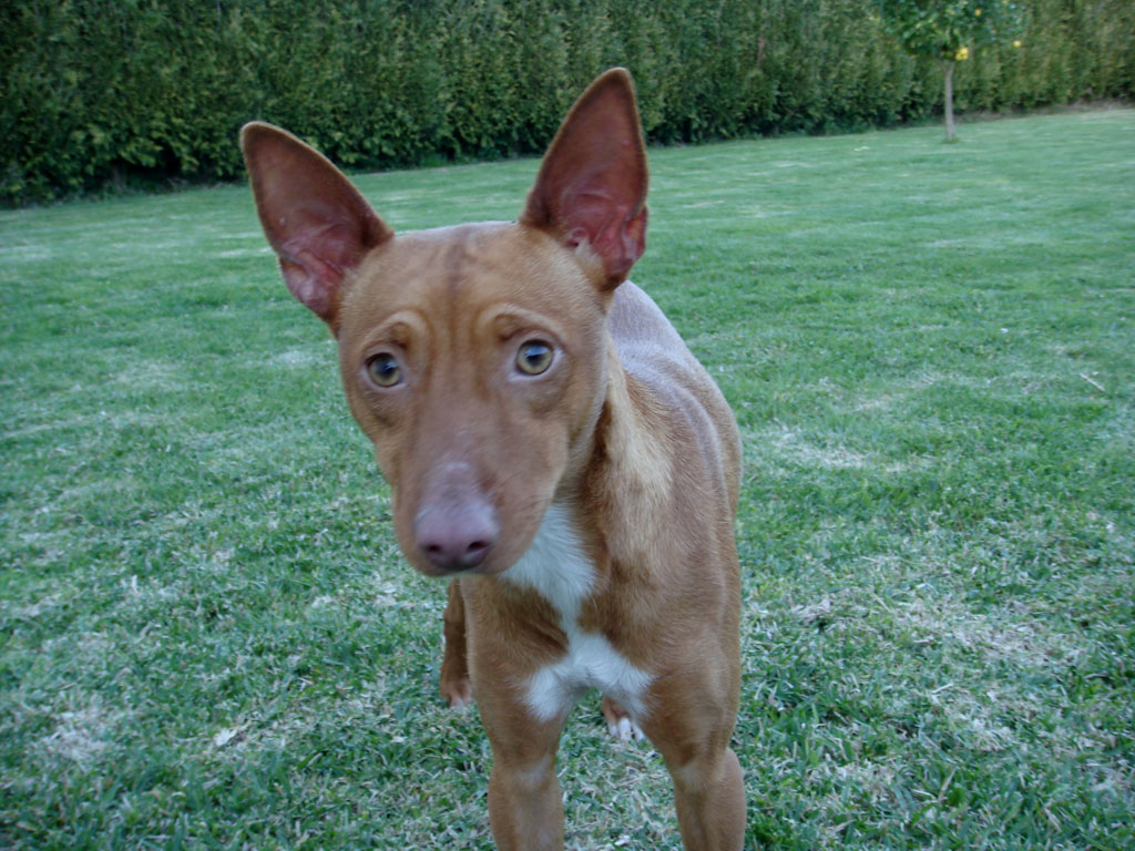 Andalusian Hound Puppies: Andalusian Articulomercadolibrecompempe Gran Danes Dogo Aleman Cachorros Jm Breed