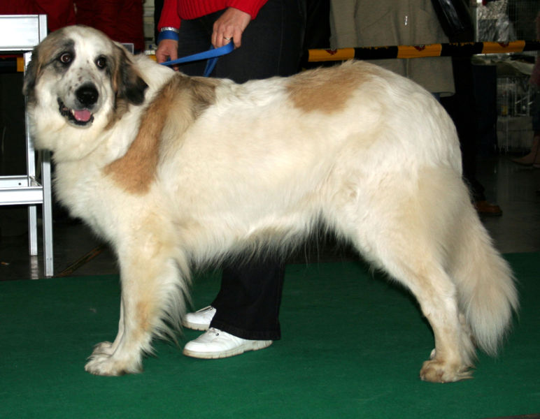 Andalusian Hound Dog: Andalusian Esdaw Breed