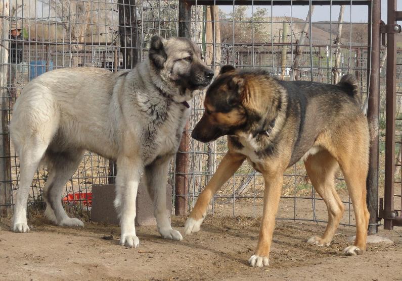 Armenian Gampr Puppies: Armenian Litters Breed