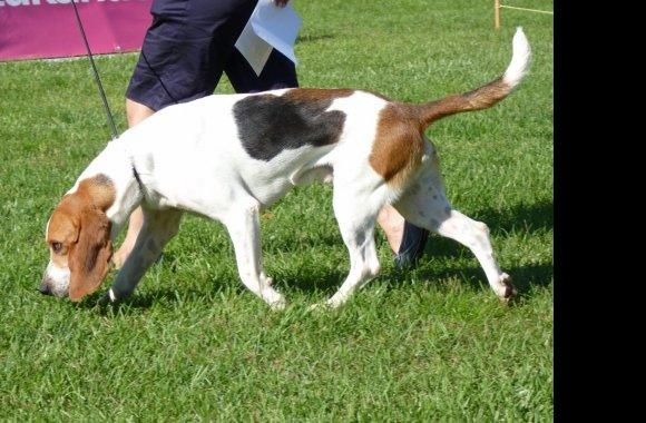 Artois Hound Dog: Artois Mania Breed