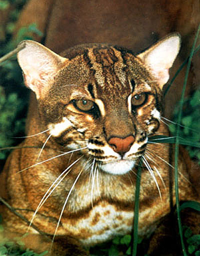Asian Cat: Asian Asian Golden Cat Widespread Threatened Southeast Asia Breed