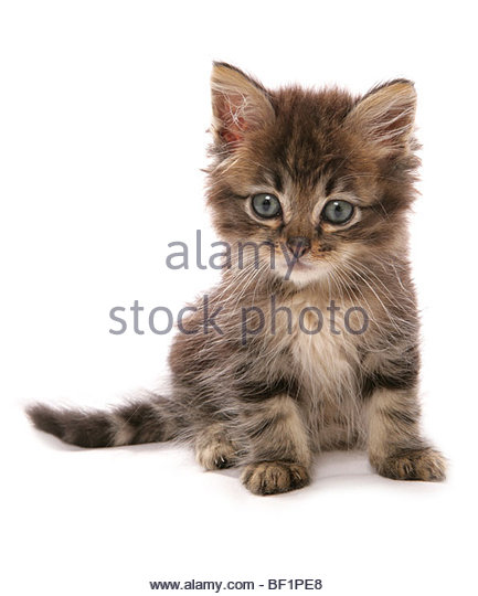 Asian Kitten: Asian Asian Kitten Sitting Studio Portrait Breed