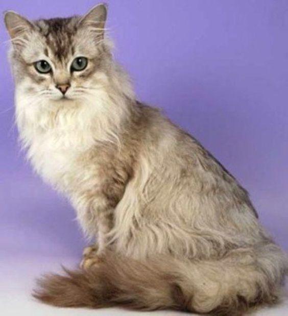 Asian Semi-longhair Cat: Asian Asian Semi Longhair Cat Breed