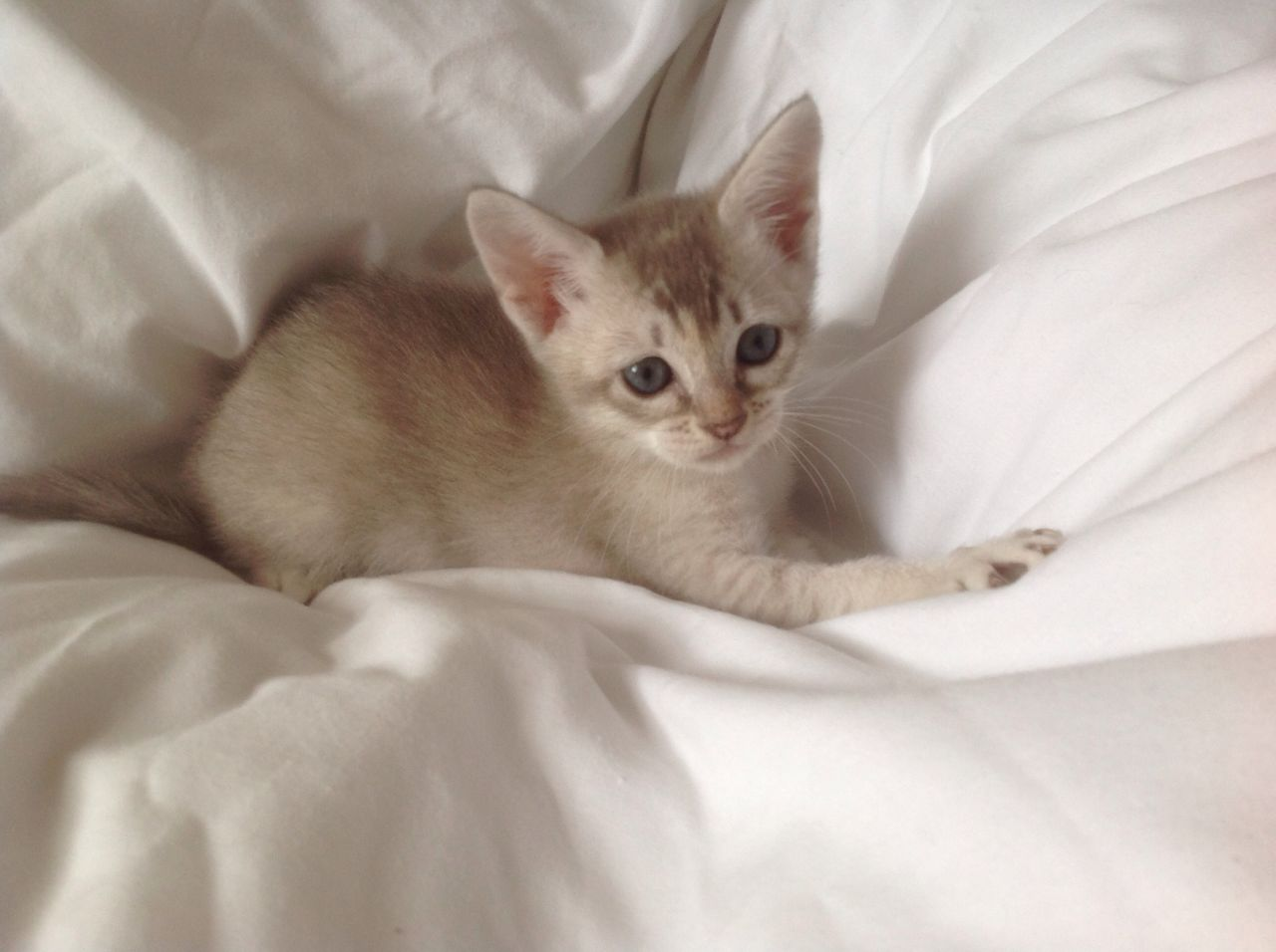 Asian Kitten: Asian Beautiful Asia N Kittens Burmese Phenotype Cockermouth Breed
