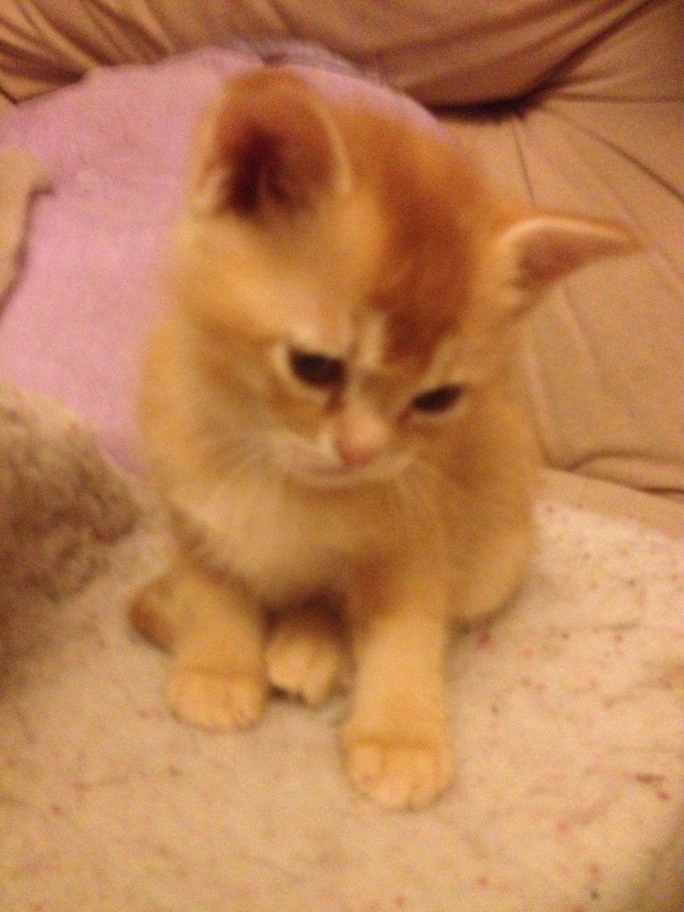 Asian Kitten: Asian Beautiful Full Expression Red Asian Kitten Bristol Breed