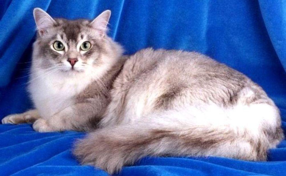 Asian Semi-longhair Cat: Asian Breed