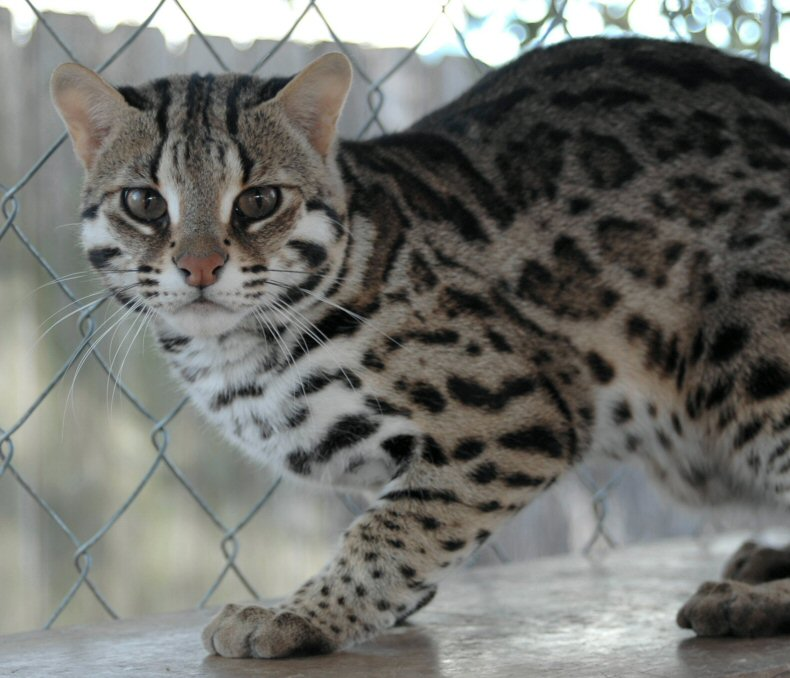 Asian Cat: Asian Hdw Inc Breed