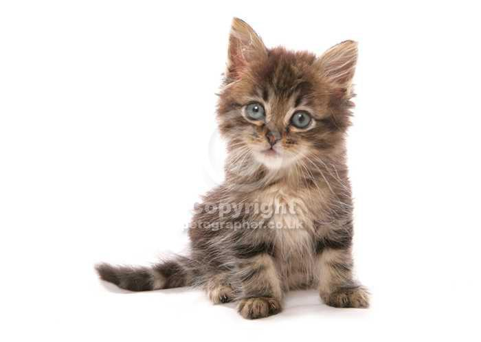Asian Kitten: Asian Pet Lover Gifts Breed