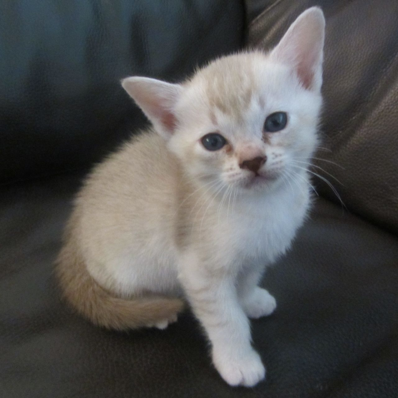Asian Kitten: Asian Stunning Asian Kittens For Sale Exeter Breed