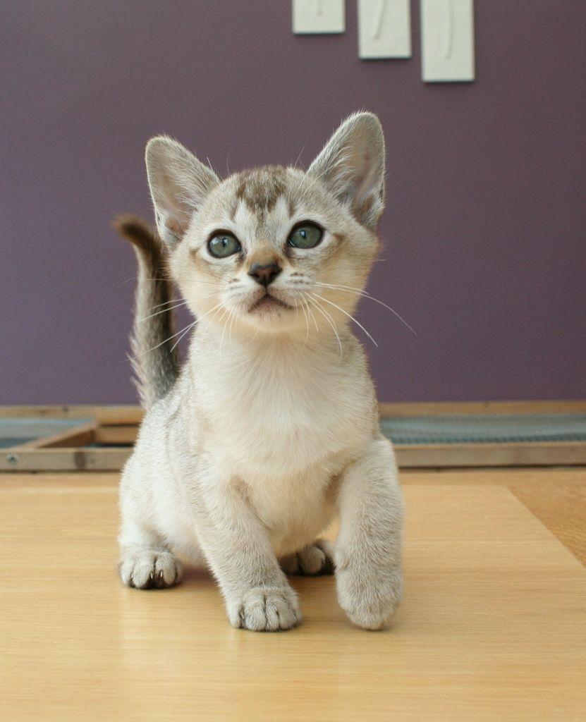 Asian Kitten: Asian Superb Litter Of Asian Kittens Exeter Breed