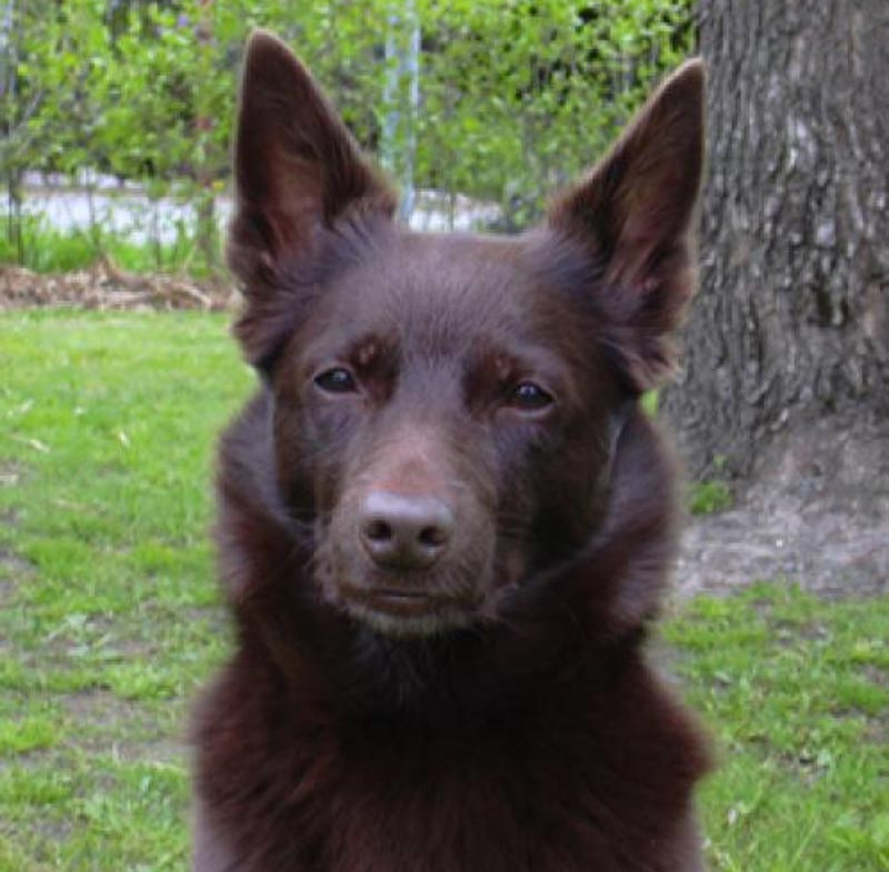 Australian Kelpie Dog: Australian Australian Kelpie Shepherd Dogs Are Friendly And Loyal Breed