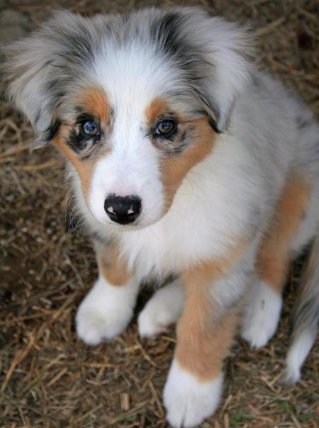 Australian Shepherd Puppies: Australian Cute Australian Shepherd Aussie Puppies Breed